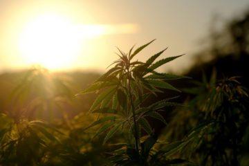 MABEWO AG: Produktion von Heilpflanzen für medizinische Anwendungen